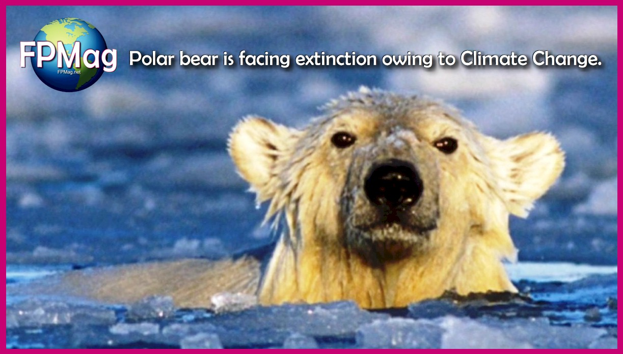 Climate Change. Canadian Polar Bear faces extinction. The species is in desperate trouble already.